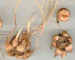 Saffron Crocus Bulbs - Product Image